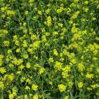 Flores Silvestres, Кампана