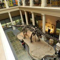 """Diplodocus"".  Museo de La Plata., Ла-Плата"