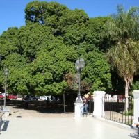 Plaza de Goya, árbol de yerba mate, Гойя