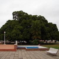 Ficus desde 1912 (16/08/2007), Гойя