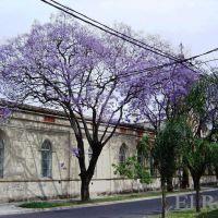 Jacaranda en Flor en Galvez y Laprida Rosario, Santa Fe, Argentina, Росарио