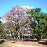 Jacarandaes en Flor en Plaza Sarmiento - Rosario, Santa Fe, Argentina, Росарио
