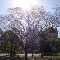 Jacarandaes Floridos en Contraluz Plaza Sarmiento - Rosario, Santa Fe, Argentina, Росарио
