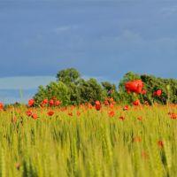 Poppies, Падуя