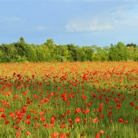 Poppies and blue sky, Падуя