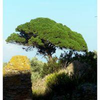 Roccelletta di Borgia, pino marittimo tra le rovine di Scolacium, Катанцаро