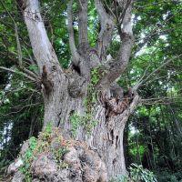 """Platania """"alberi secolari"""", Косенца"""