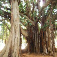 Giardino Garibaldi -  Ficus macrophylla, Палермо