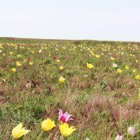 Тюльпаны, 8 мая 2011г., Шубаркудук
