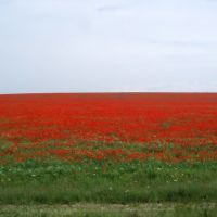 Wild poppies in the stepp, Баканас