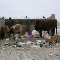 Unlucky cows, Индерборский