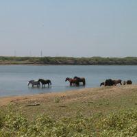 Лошади на берегу Урала. Horses on the bank of Ural river, Индерборский