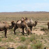 Верблюды, Гульшад