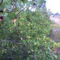 кусты смородины вдоль дороги в парке, Актау