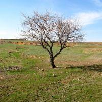 Дерево, Актау