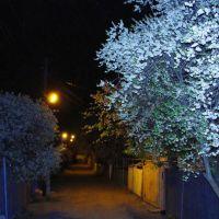 цветение вишни, Орджоникидзе