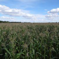 Кукурузное поле, Семиозерное