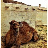 Bautino Camel, Баутино