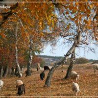 Autumn. Birch wood., Баянаул
