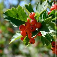 Hawthorn fruits, Баянаул