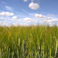 Пшеничное поле.., Большая Владимировка