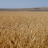 хлеб. пшеница, Новая Шульба