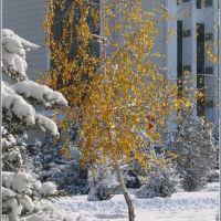 Березка. Первый снег. Декабрь 2010, Капал