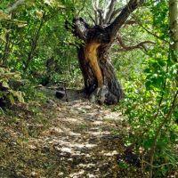 Старое дерево, Астраханка