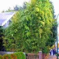 Golden Bamboo Grove near Oak & Broadway (2007), Ванкувер