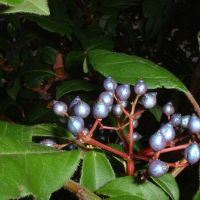 """Viburnum tinus """"Spring Bouquet"""", Ванкувер"""