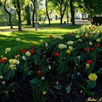 Colorful tulips, Вернон