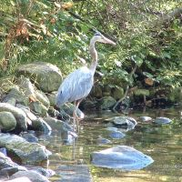 Great Blue Heron at Noons Creek, Порт-Муди