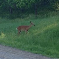 Deer in Dundas Valley Conservation Area, Анкастер
