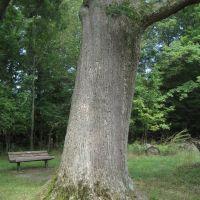 white oak (Quercus alba), Анкастер