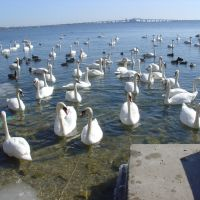 Swans lots of Swans, Ла-Саль