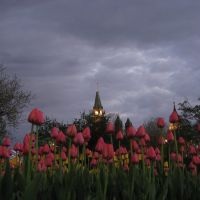 Thunder threatening tulips, Оттава