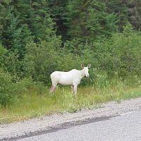 Rare White Moose Near Horwood Lake on highway 101 West, Садбури