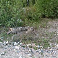 Wolf on McChesney Road, Садбури
