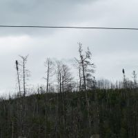 Life Emerges After A Disaster- New Jack Pine After A Fire, Садбури