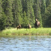 Esnagami Wilderness Lodge Moose Cow and two calves, Сант-Томас