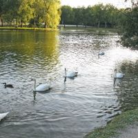 Swans on River Avon, Стратфорд