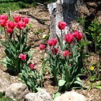 Thornhill tulips 2007, Торнхилл