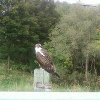 A hawk in Royal Orchard Golf Club, Торнхилл