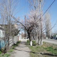 Blossoming Apricot, Кант