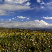 Подсолнухи, поля, Кызыл Суу