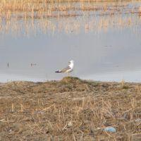 Seagull, Чаек
