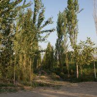 Тополя у Кызыл-Кии, Кызыл-Кия