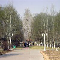城中绿化带之-白杨林, Баотоу