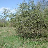 Дикая яблоня Neudorf (1928-Moscice Dln.) 26.04.2008, Домачево