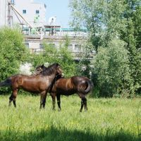 Horses, Жабинка